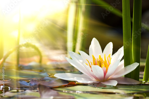 Fotobehang Water planten lotus flower