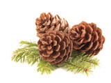 Pine cones close up