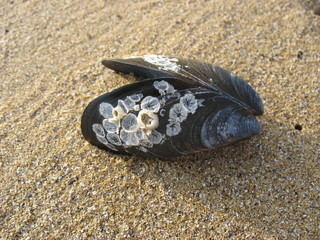 Зарождающиеся ракушки на створках черной раковины