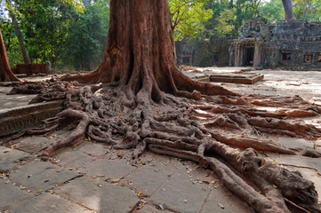 Tree roots in Ta Prohm Temple. Angkor. Cambodia