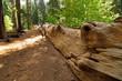 Giant dead sequoia in Tuolumne grove in Yosmite NP