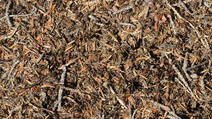 Ants working in cooperation in an anthill in summer