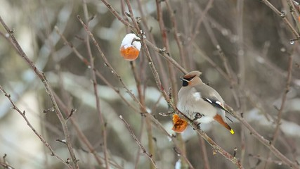 Bohemian waxwing sitting in a tree eating rotten apple