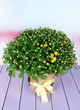Chrysanthemum bush in pot on wooden table on bright background