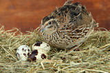 Young quail with eggs on straw on wooden background