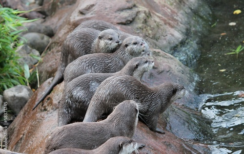 wet Asian small-clawed otters