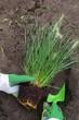 canvas print picture - Pennisetum pflanzen - Pennisetum planting 01