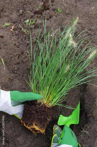 canvas print picture Pennisetum pflanzen - Pennisetum planting 01
