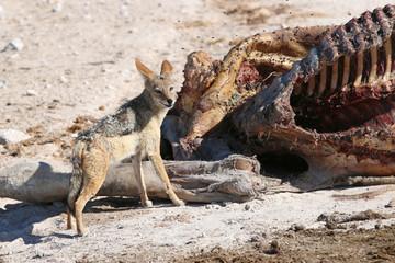 Schabrackenschakal. Namibia
