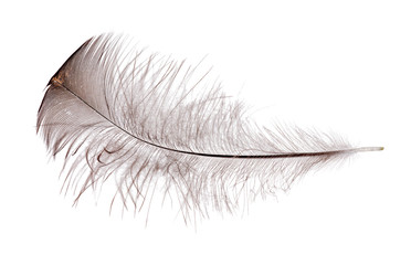 feather with black down on white