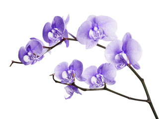 dark lilac orchid spotted flowers