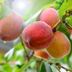 Pfirsiche am Baum