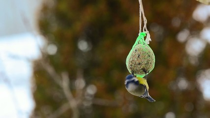 Blue tit bird eating from a fat ball in winter time