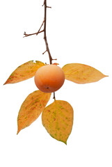 Persimmon fruit on the tree with leaves isolated on white