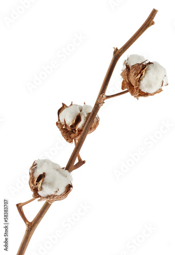 Branch of cotton plant isolated on white