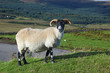 Portrait of a Scottish blackface sheep, Quirain, Isle of Skye, S