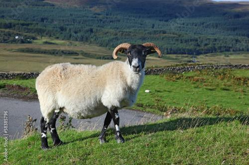 Portrait of a Scottish blackface sheep, Quirain, Isle of Skye, S Poster