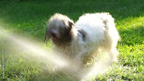 Funny crazy Havanese dog is fighting against a water beam