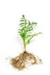 canvas print picture - Baldrian (Valeriana officinalis)