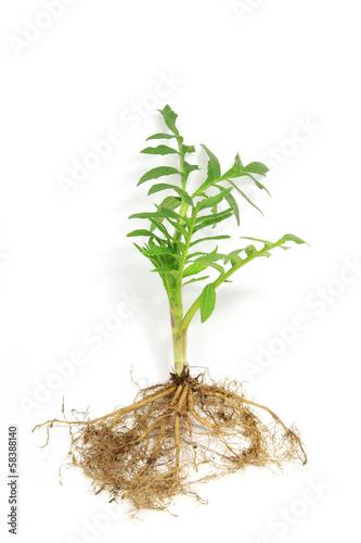 canvas print picture Baldrian (Valeriana officinalis)