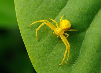Yellow spider on a green leaf.
