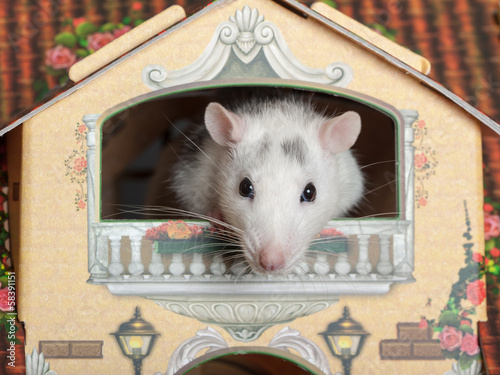 rat on the balcony
