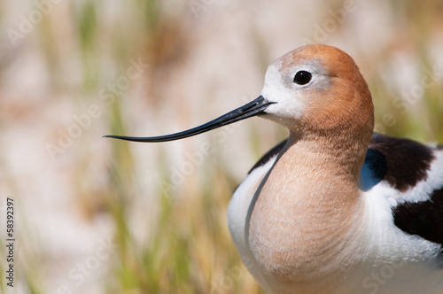 American Avocet Close-up. Oregon, US