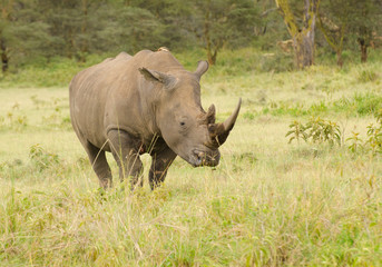 Rhino on African grasslands