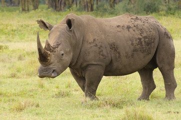 Large bull rhino on grasslands