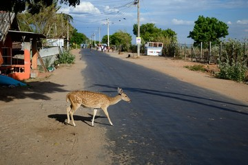 Spotted deer crossing the road in Trincomalee, Sri Lanka