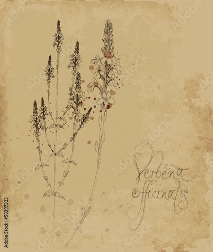 Verbena officinalis / Vintage card with sketch of magical herb