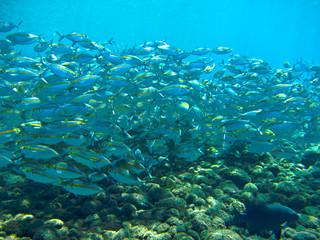 School of Mackerel Fish, Tulamben, Bali