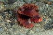 Shortfin firefish (Dendrochirus brachypterus)