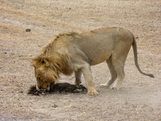 Leone divora la preda nel parco Ngorngoro,Tanzania