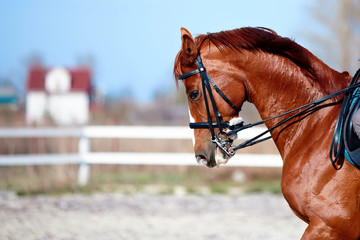 Portrait of a sports red horse.