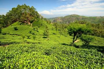 Green tea crops in scenic landscape, Haputale
