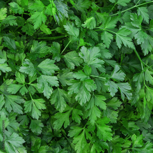 Herb of parsley