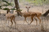 Chital, Spotted Deer or Axis Deer, Axis axis, in Yala NP poster