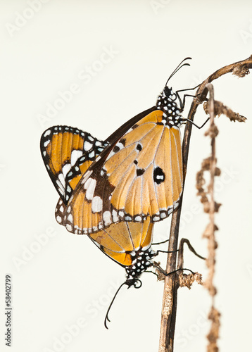 plain tiger butterfly mating close up