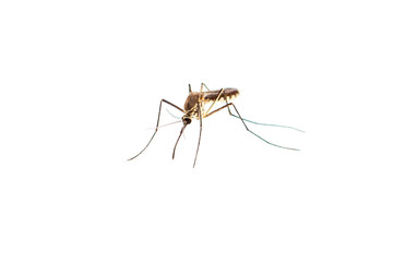 mosquito isolated on white