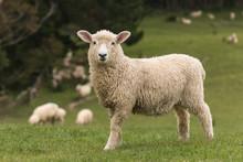 isoliert Lamm mit weidenden Schafen im Hintergrund
