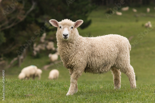 Deurstickers Schapen isolated lamb with grazing sheep in background