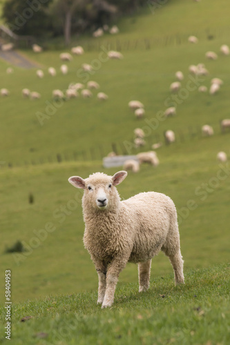 lamb with flock of sheep in background