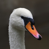 Side face portrait of a mute swan on blur background.