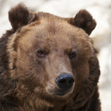 Stare of a brown bear female on blur gray backdrop.