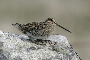 Common snipe, Gallinago gallinago