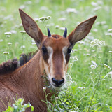 A face portrait of a young sable antelope.