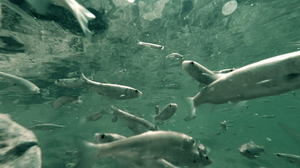 Underwater footage of a flock of fishes