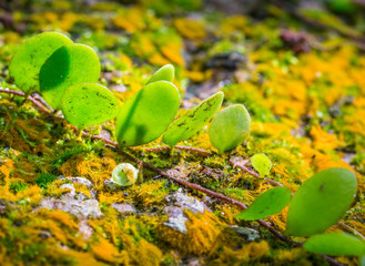Pyrrosia piloselloides plant on moss