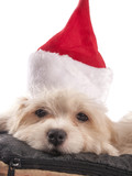 maltese dog with christmas hat with white background